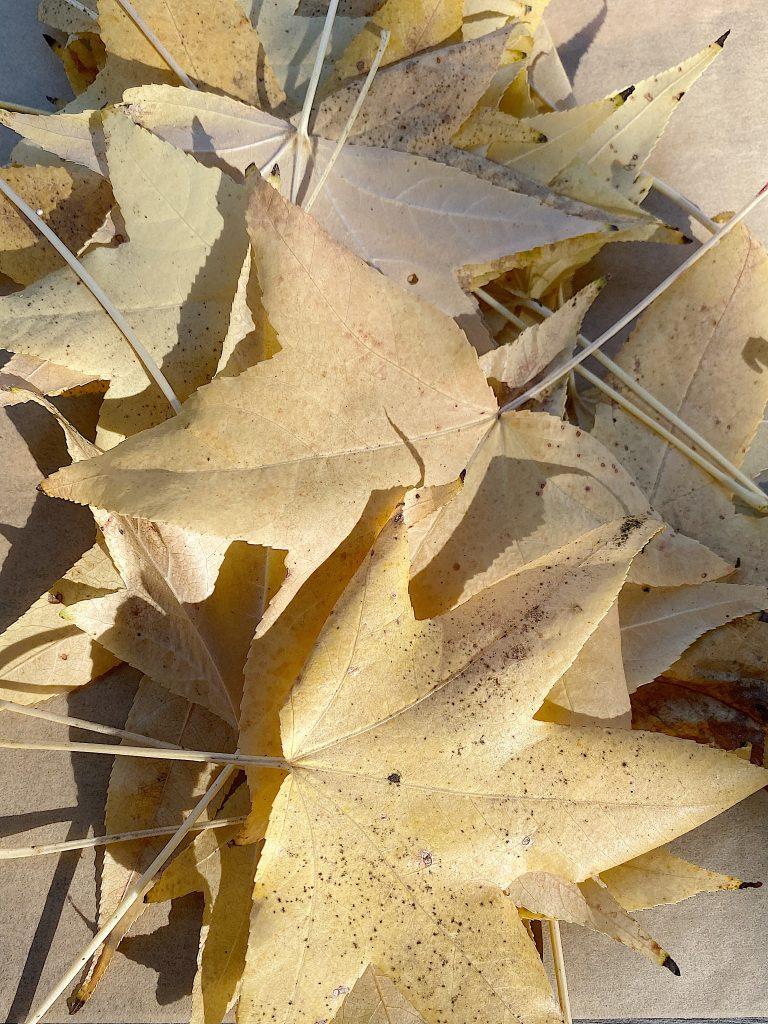 fresh maple leafs