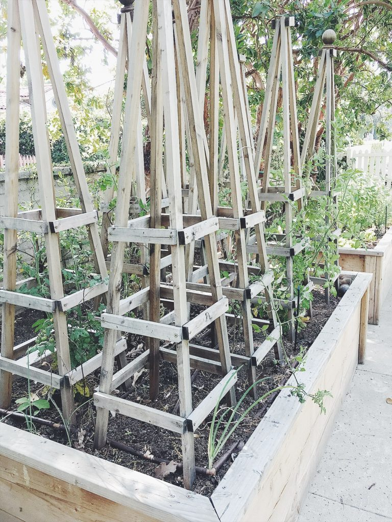tomato cages and plants