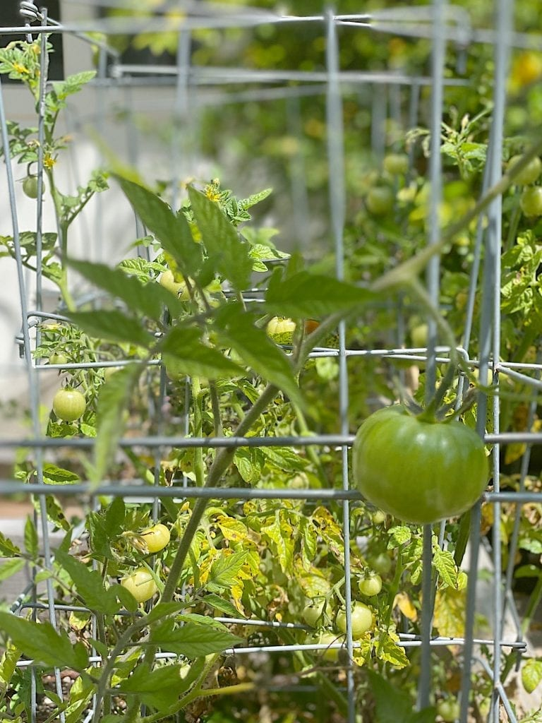 growing-tomato-plants-scaled