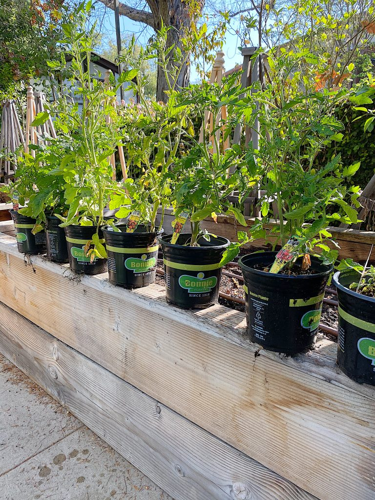 How to Grow Tomatoes at Home in Your Yard