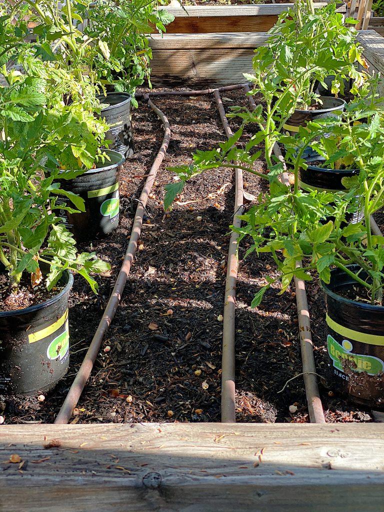 Picking Tomato Plants