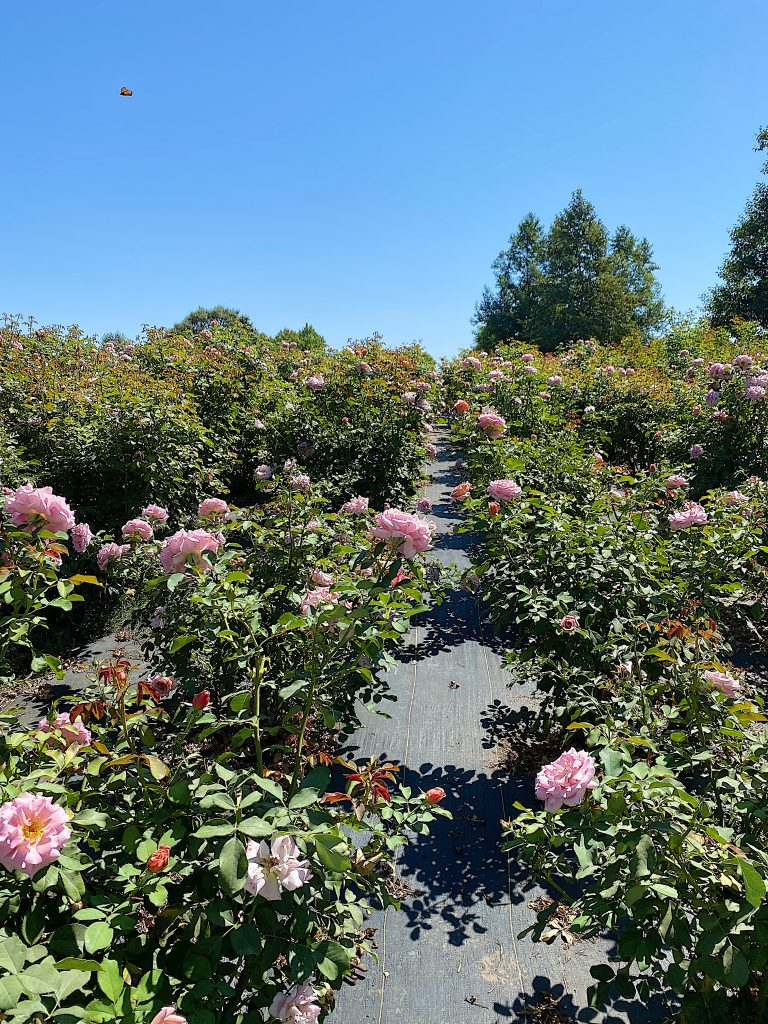 Tons of Roses for Mother's Day at Grace Rose Farm
